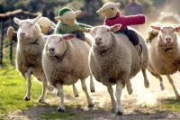 big sheep race tickets devon