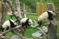 Madrid Zoo Pandas