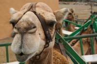 Arteara Camel