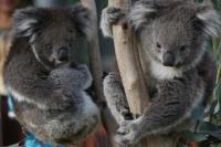 Meet the Koalas at Melbourne Zoo