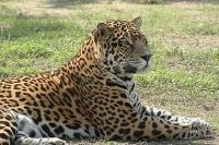 Rio Safari Elche Jaguar