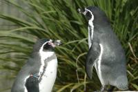 Weymouth Sealife Centre penguins