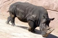 Terra Natura White Rhino