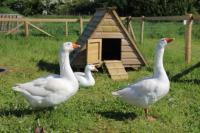 Fairytale farm geese