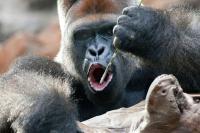 Loro Park Gorilla