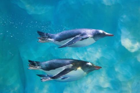swimming penguins Birmingham