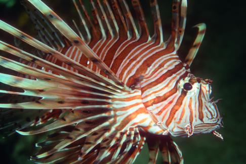 Blackpool lion fish