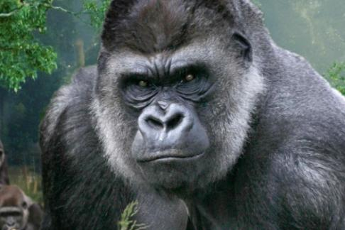 Lowland Gorilla at The London Zoo