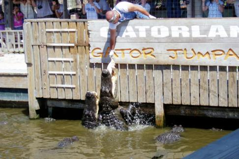 Gatorland alligator feeding